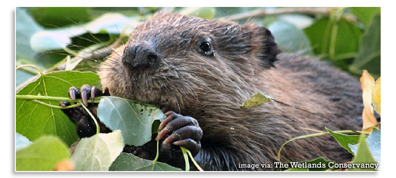 Wetland-Conservation-Beavers