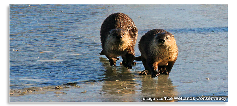 Wetland-Conservation-Otters