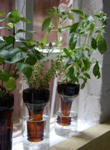 Reusing Glass Bottles for Growing Herbs.