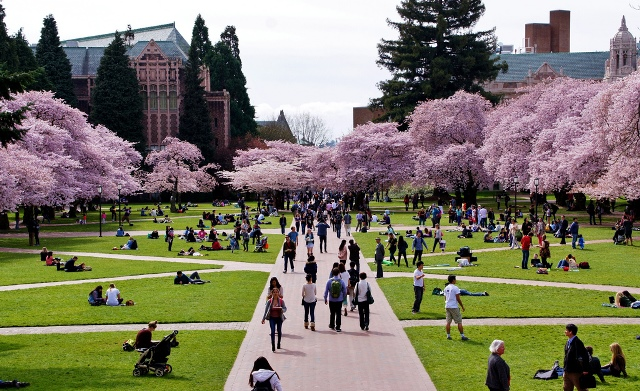 Trees blossoming on the University of Washington's Green Campus.