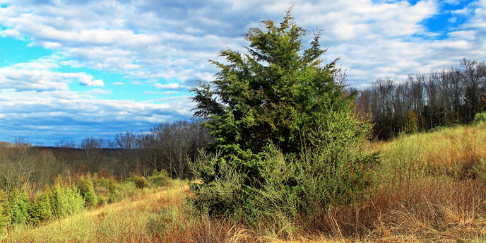Eastern Redcedar Tree Alone in a Wild Thicket Under Blue Skies and White Clouds