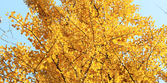 Goldspire Ginkgo Trees in Autumn Against a Clear Blue Sky