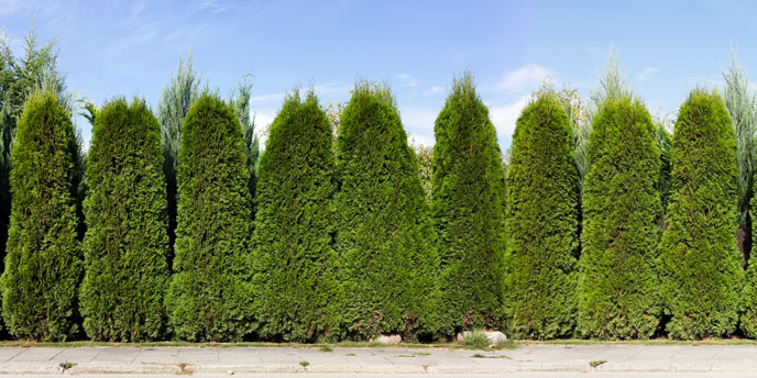 Green Giant Thuja Arborvitae Lined Up in a Row as Privacy Fence Trees