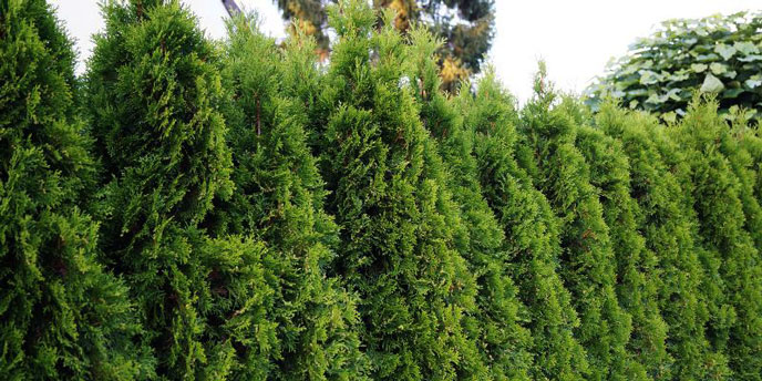 Dense Line of Thuja Cedar Trees