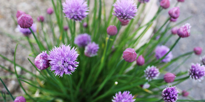Flowering Chive Plants with Feathered, Purple Blooms
