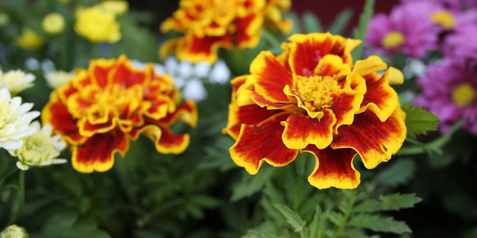 Yellow and Scarlet Marigolds Companion Planted Next to Daisies