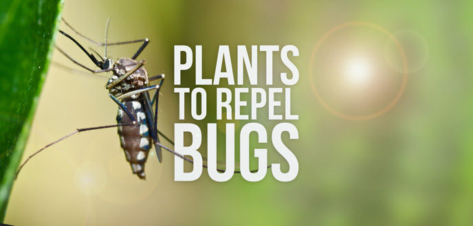 How to Use Plants to Repel Bugs