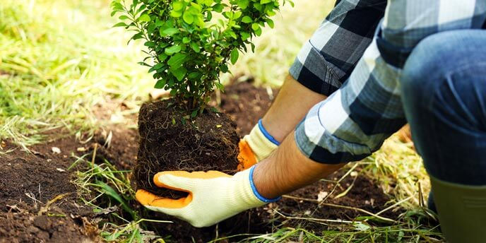 Man Holding Tree by Root Ball While Planting Trees in Backyard