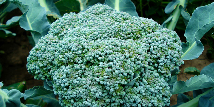 Broccoli in Garden