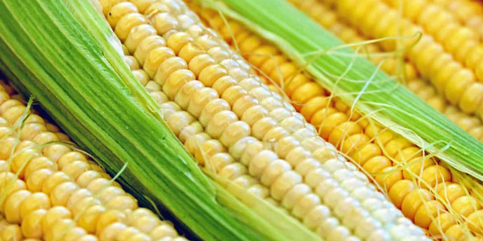 Yellow Corn in Husk
