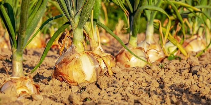 Onion Bulbs in the Ground in Rows