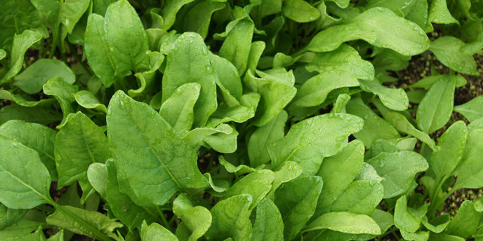 Spinach Growing in Garden