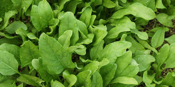 Spinach Growing in Garden