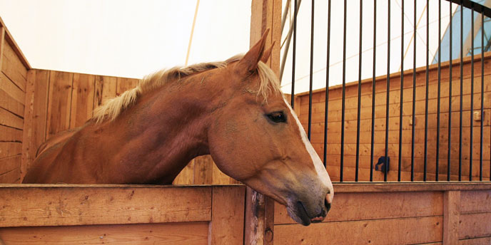 Horse Inside Wooden Barn Stall
